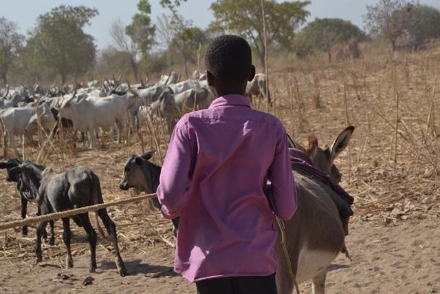 enfant bouvier dans un ferrik au Sud du Tchad